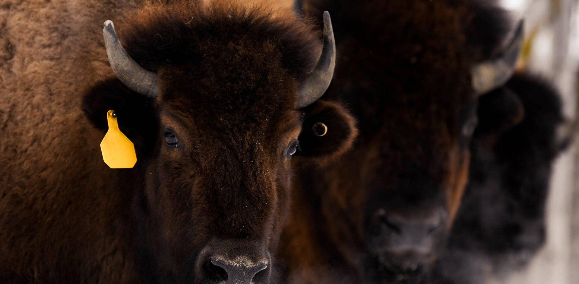 Le Rieur Sanglier - Bisons
